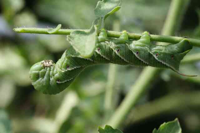 Where Do Tomato Hornworms Come From