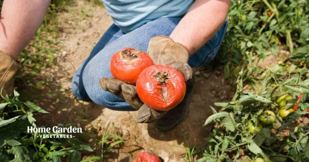 Can You Eat Tomatoes Affected By Blight